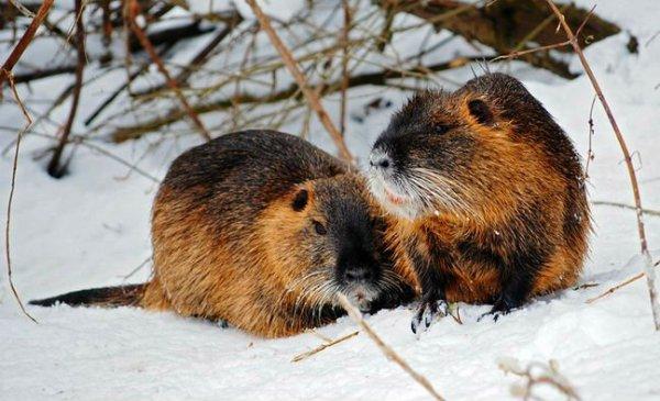 Пара нутрий зимой