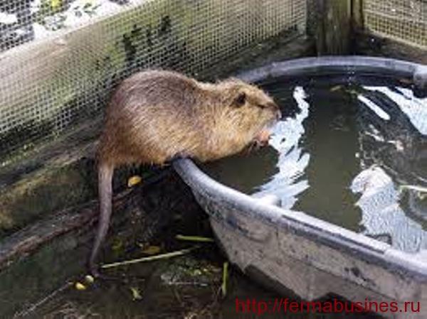 Животное пьет из грязной ванны