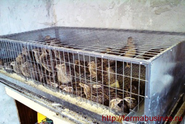 Фото перепелов в клетке