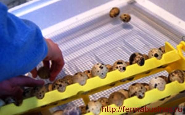 Инкубация перепелиных яиц