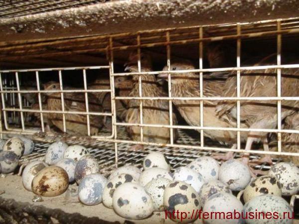 Затрудненная яйцекладка у перепелок