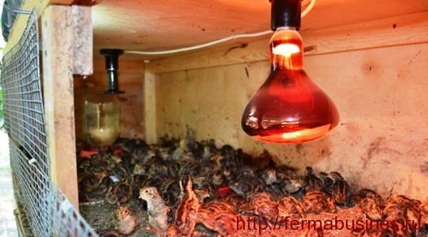 Освещение в клетке. Разведение и содержание перепелов на даче в летний период