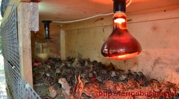 Содержание и разведение перепелов зимой. Инфракрасная лампа.