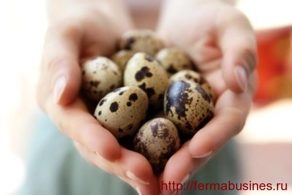 Перепелиные яйца. Сколько яиц несет перепелка