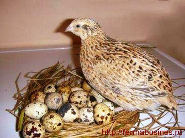 Сколько яиц несет перепелка