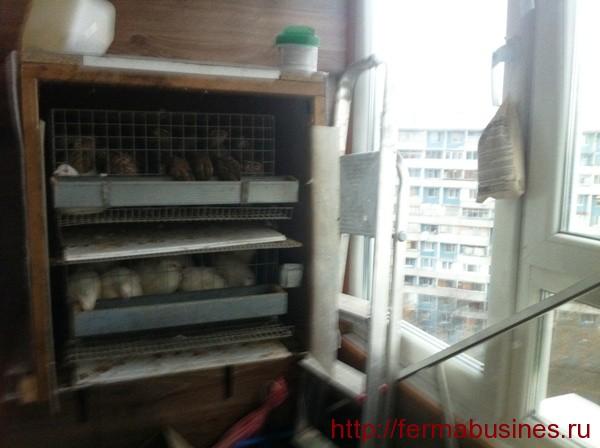 Клетки с перепелами на балконе. Содержание и разведение перепелов зимой.