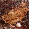 Перепелка с яйцом