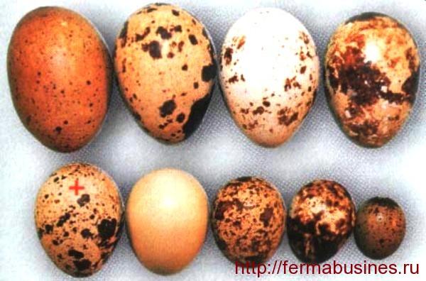 Яйца разных размеров