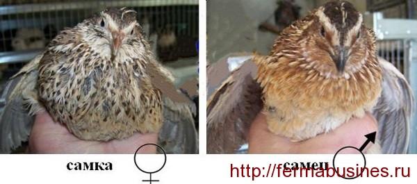 Отличить перепелов самку от самца