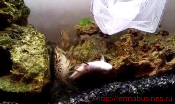 Даже аквариумный рачок с удовольствие ест мертвую рыбешку