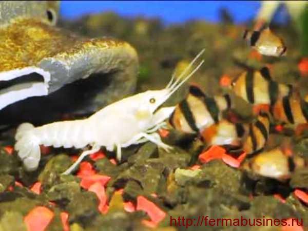Белый рачок в одном аквариуме с барбусами