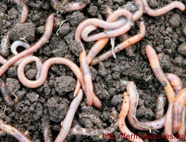 Питание червей