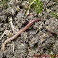 Среда червя
