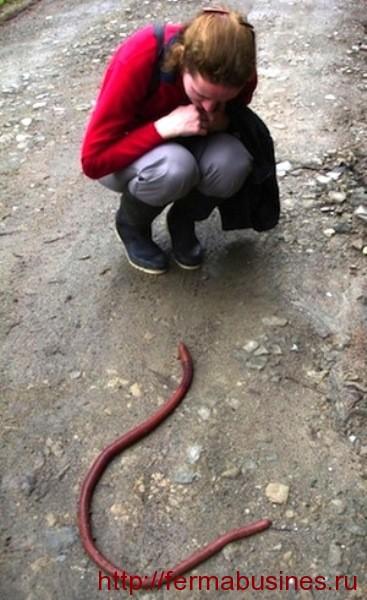 Огромный червяк выползший после дождя