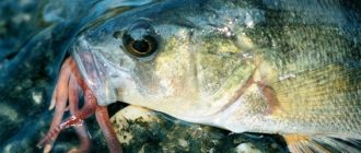 Рыба заглатывающая червяный буерброд