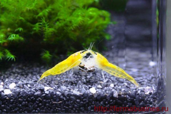 Желтые красавицы