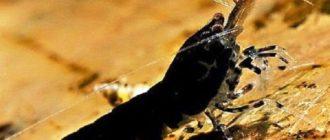 Черная Тигровая креветка