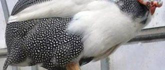 Загорская белогрудая цесарка