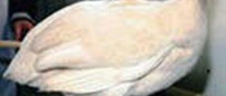 Кремово-замшевая цесарка