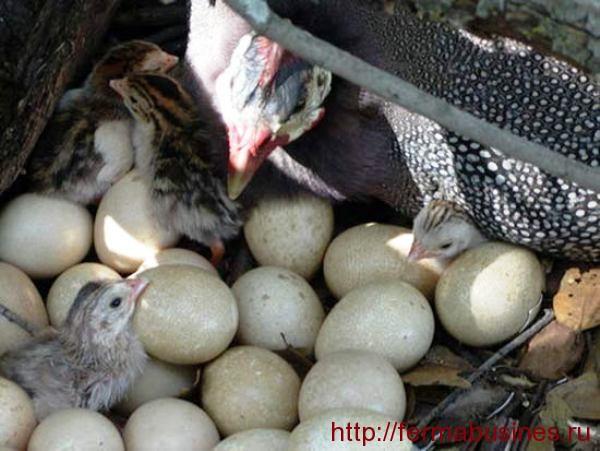 Цесарки яйценоскость содержание в домашних условиях