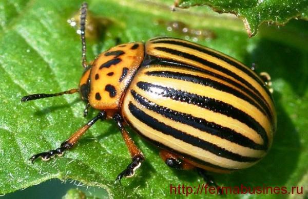 Опасный вредитель - колорадский жук