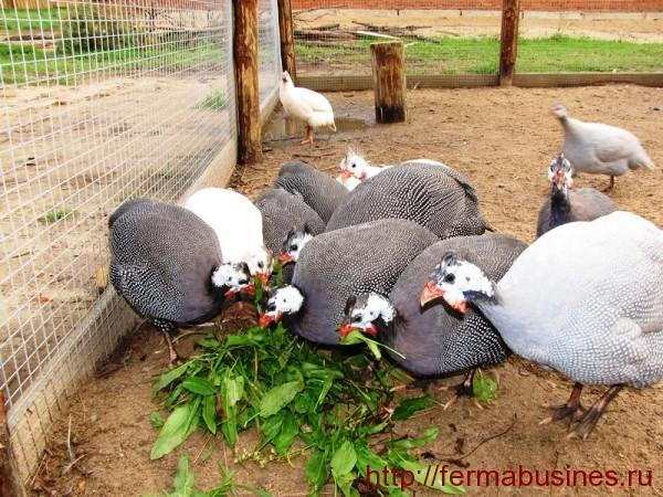Птицы с охотой едят зелень