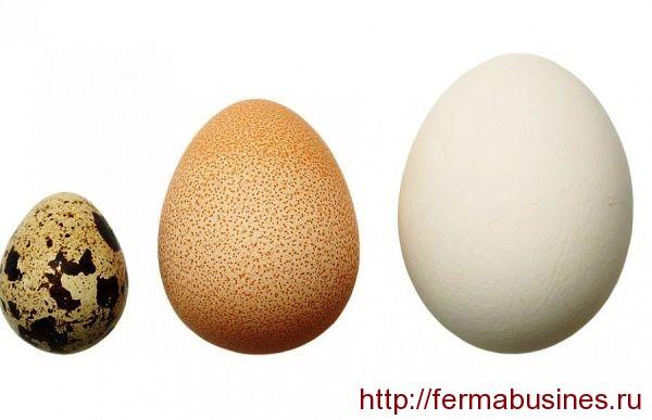 Размеры яичек (цесариное среднее)