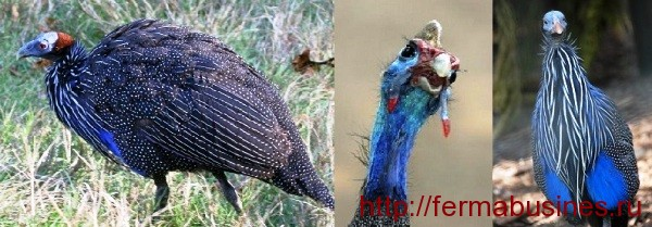 Голубая цесарка