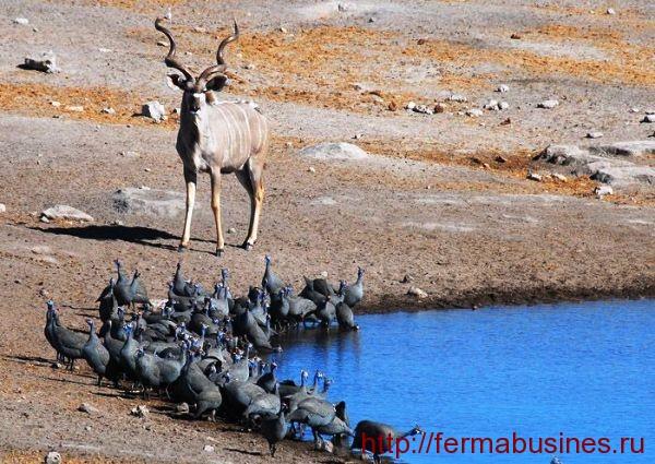Цесариная стайка возле озера