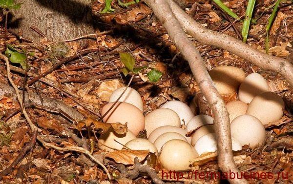Яичная кладка