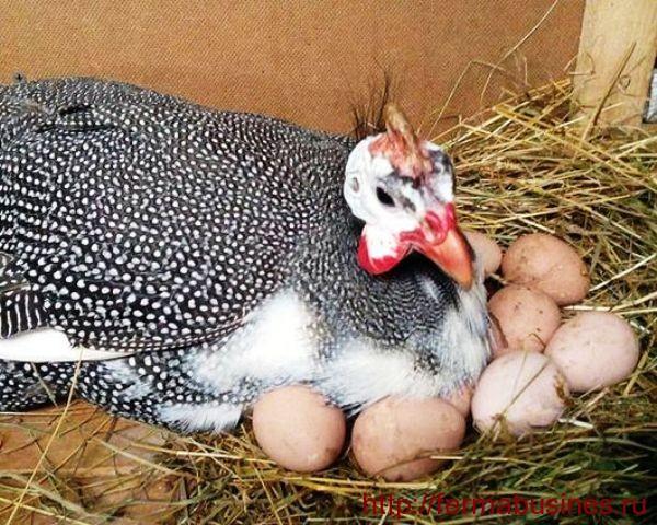 Самка на яйцах