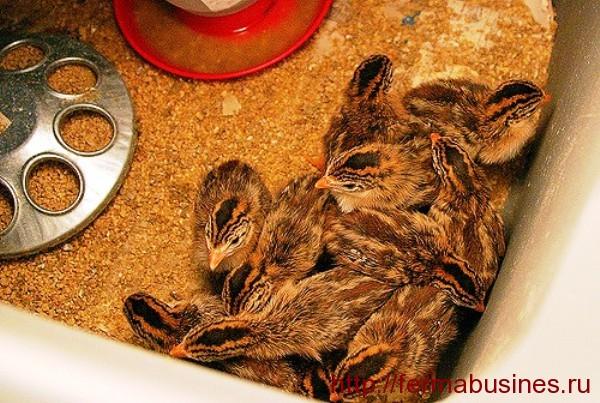 Маленькие птенчики